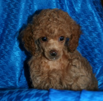 Poodle Puppies For Sale Red Poodle Puppy